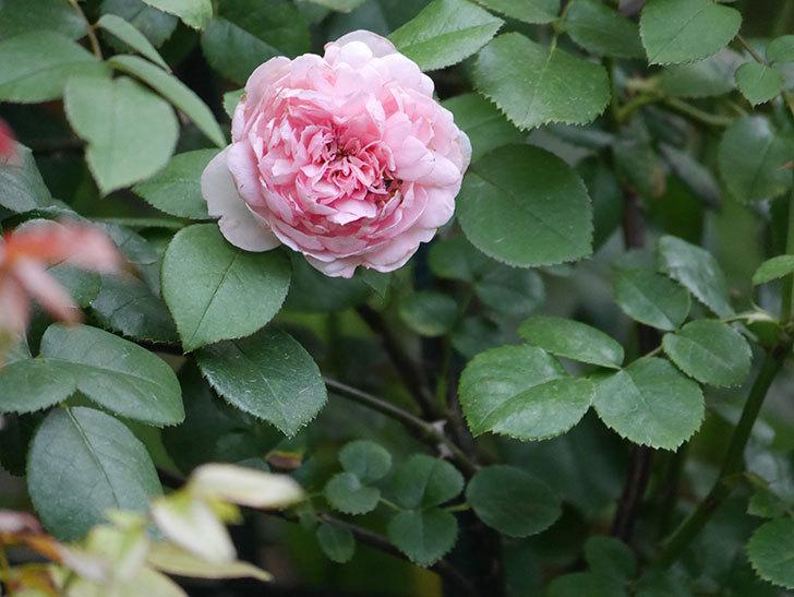 ジュビレ・アンペリアル(Jubile Imperial)の2番花がまた咲いた。半ツルバラ。2020年-005.jpg