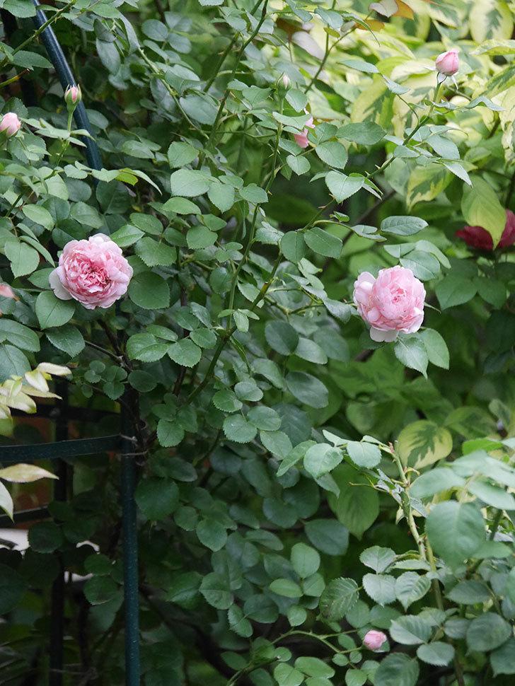 ジュビレ・アンペリアル(Jubile Imperial)の2番花がまた咲いた。半ツルバラ。2020年-006.jpg