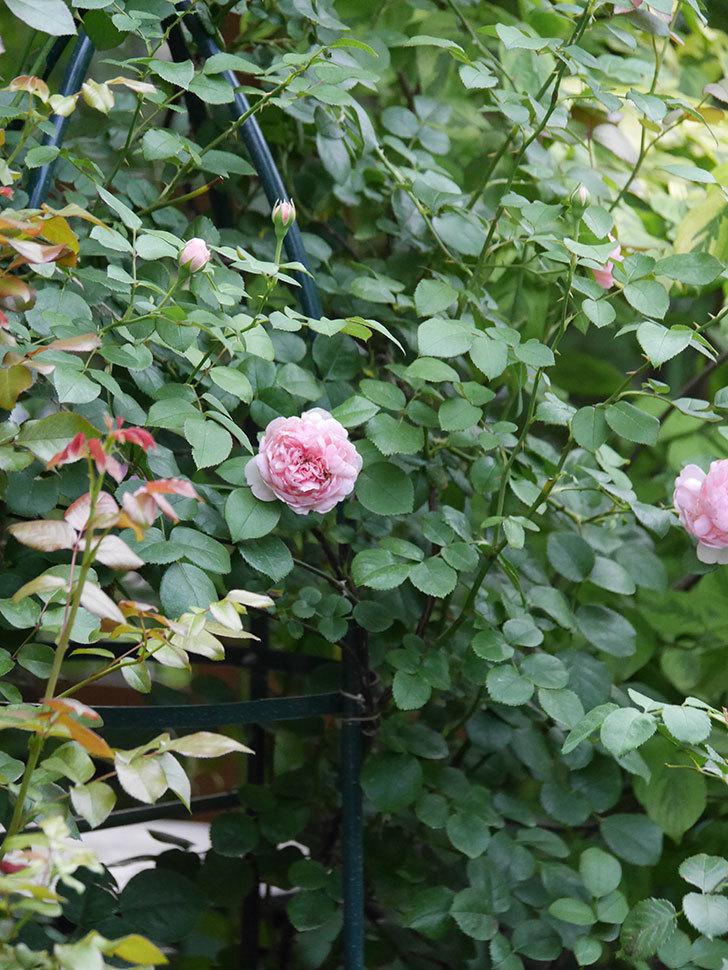 ジュビレ・アンペリアル(Jubile Imperial)の2番花がまた咲いた。半ツルバラ。2020年-007.jpg