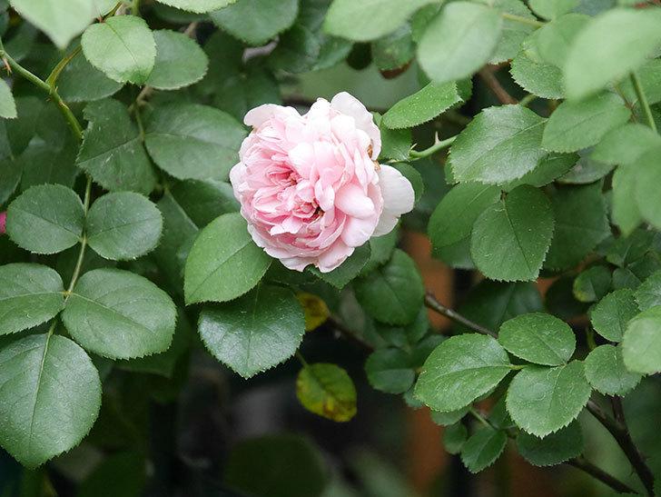 ジュビレ・アンペリアル(Jubile Imperial)の2番花がまた咲いた。半ツルバラ。2020年-008.jpg