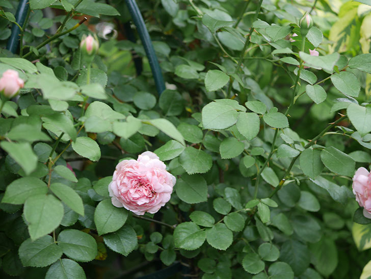ジュビレ・アンペリアル(Jubile Imperial)の2番花がまた咲いた。半ツルバラ。2020年-009.jpg
