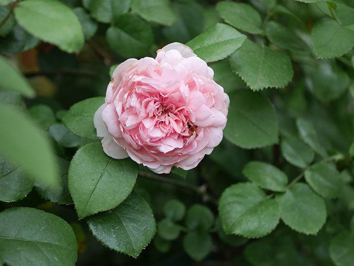 ジュビレ・アンペリアル(Jubile Imperial)の2番花がまた咲いた。半ツルバラ。2020年-010.jpg