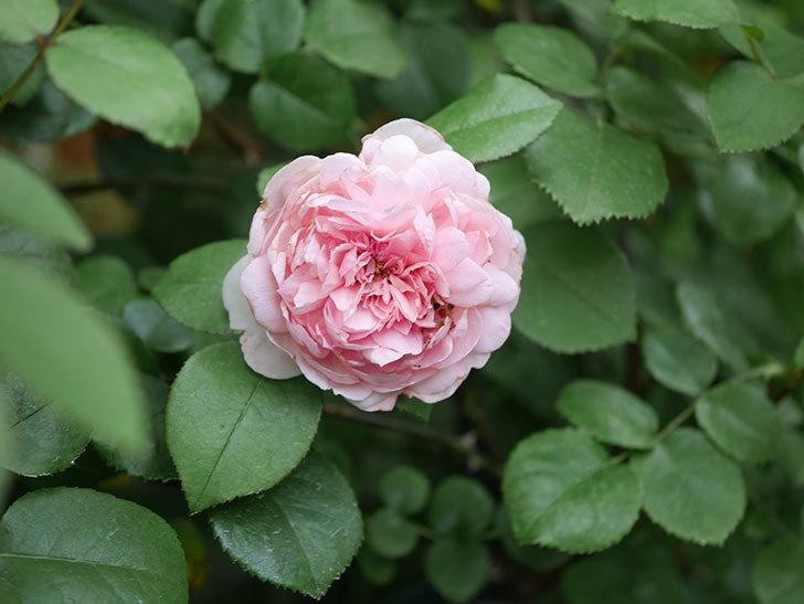 ジュビレ・アンペリアル(Jubile Imperial)の2番花がまた咲いた。半ツルバラ。2020年-011.jpg