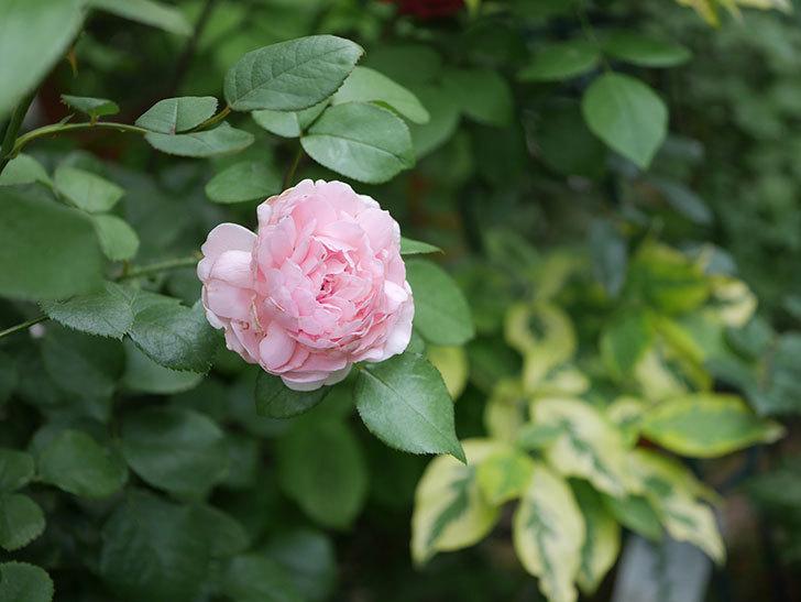ジュビレ・アンペリアル(Jubile Imperial)の2番花がまた咲いた。半ツルバラ。2020年-012.jpg