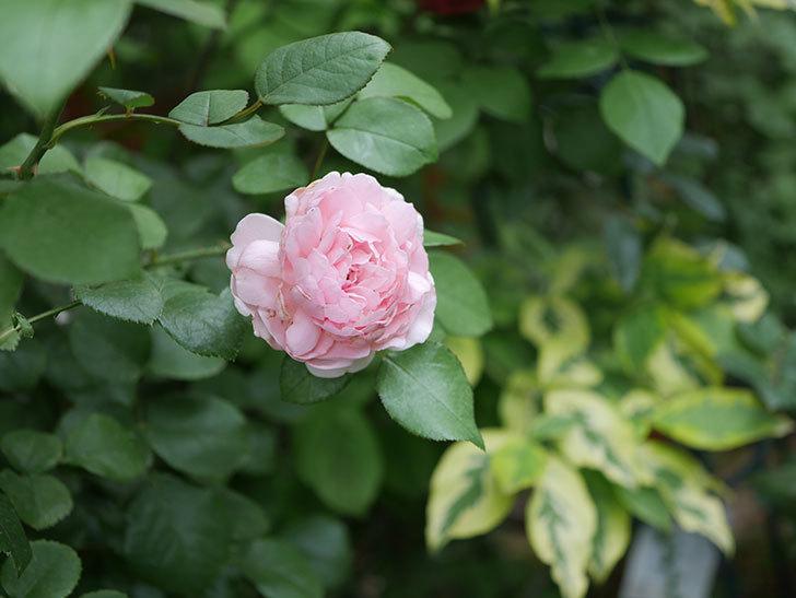 ジュビレ・アンペリアル(Jubile Imperial)の2番花がまた咲いた。半ツルバラ。2020年-013.jpg