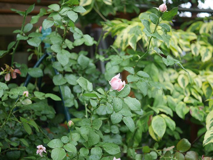 ジュビレ・アンペリアル(Jubile Imperial)の2番花がまた咲いた。半ツルバラ。2020年-014.jpg