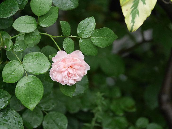 ジュビレ・アンペリアル(Jubile Imperial)の2番花がまた咲いた。半ツルバラ。2020年-015.jpg