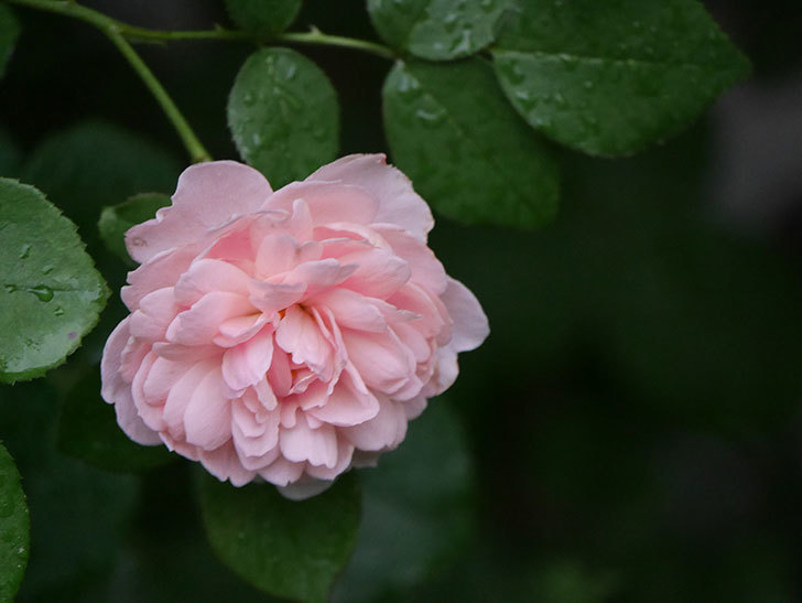 ジュビレ・アンペリアル(Jubile Imperial)の2番花がまた咲いた。半ツルバラ。2020年-016.jpg