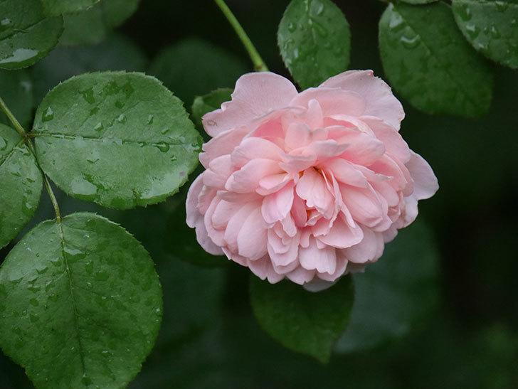 ジュビレ・アンペリアル(Jubile Imperial)の2番花がまた咲いた。半ツルバラ。2020年-017.jpg