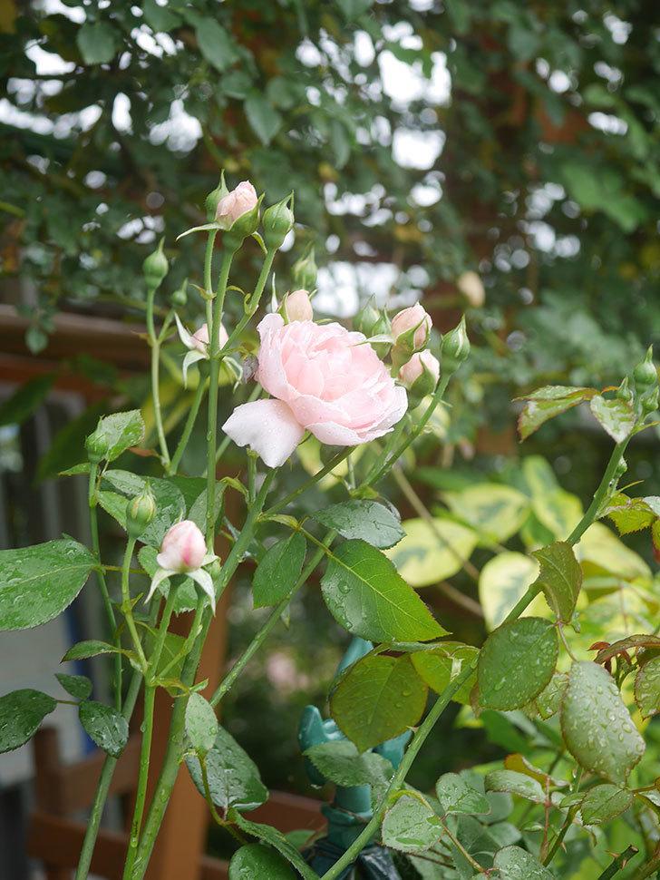 ジュビレ・アンペリアル(Jubile Imperial)の2番花が咲いた。半ツルバラ。2020年-001.jpg