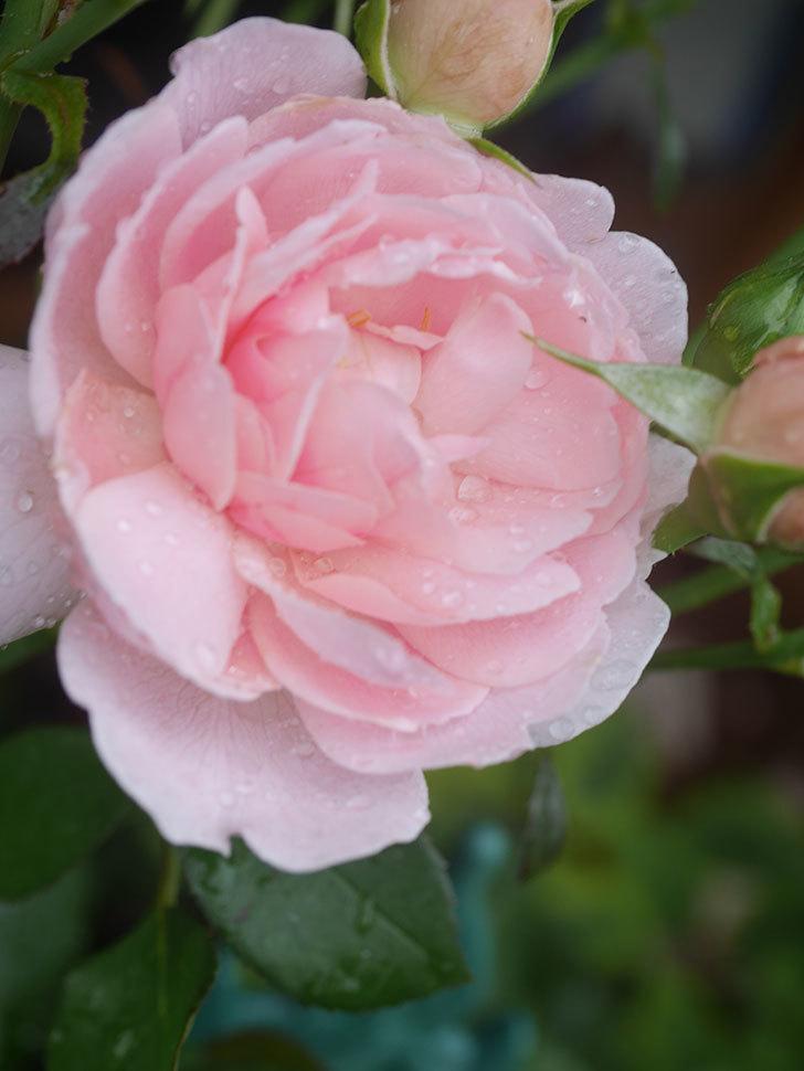 ジュビレ・アンペリアル(Jubile Imperial)の2番花が咲いた。半ツルバラ。2020年-003.jpg