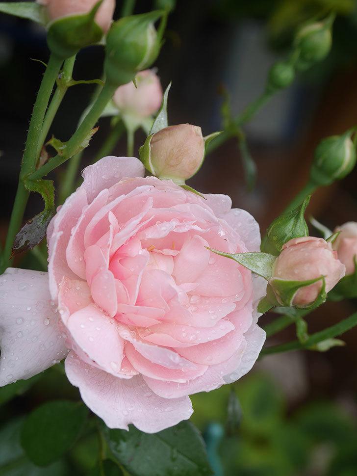 ジュビレ・アンペリアル(Jubile Imperial)の2番花が咲いた。半ツルバラ。2020年-004.jpg