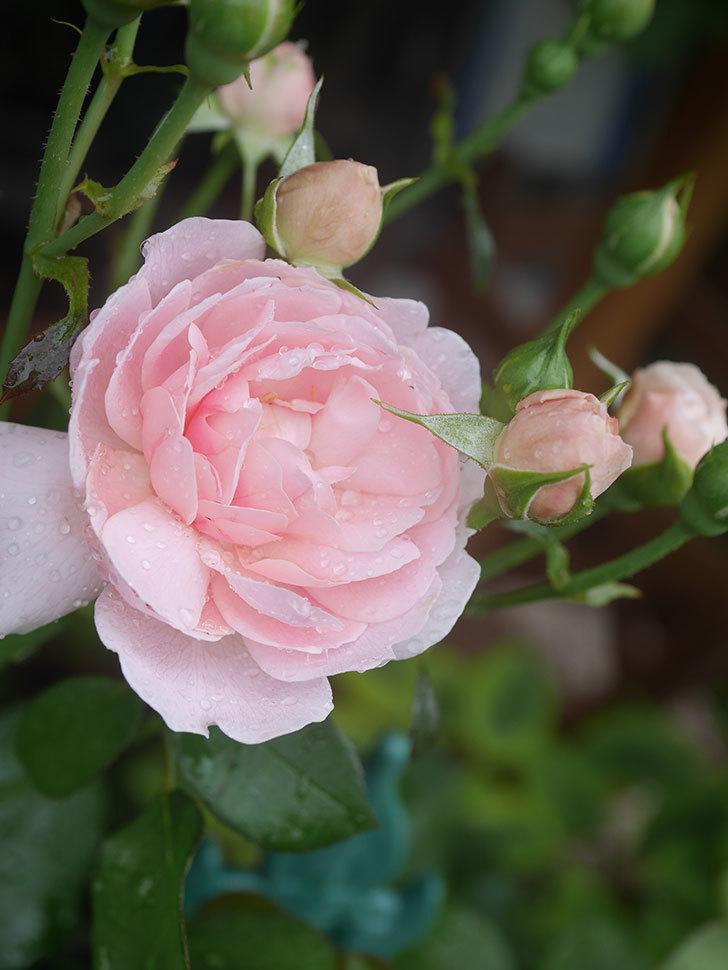 ジュビレ・アンペリアル(Jubile Imperial)の2番花が咲いた。半ツルバラ。2020年-005.jpg