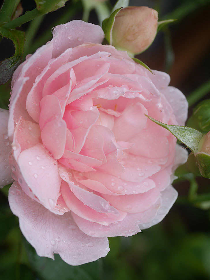 ジュビレ・アンペリアル(Jubile Imperial)の2番花が咲いた。半ツルバラ。2020年-006.jpg