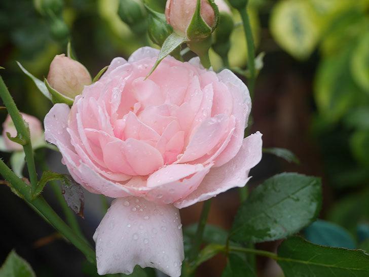 ジュビレ・アンペリアル(Jubile Imperial)の2番花が咲いた。半ツルバラ。2020年-007.jpg