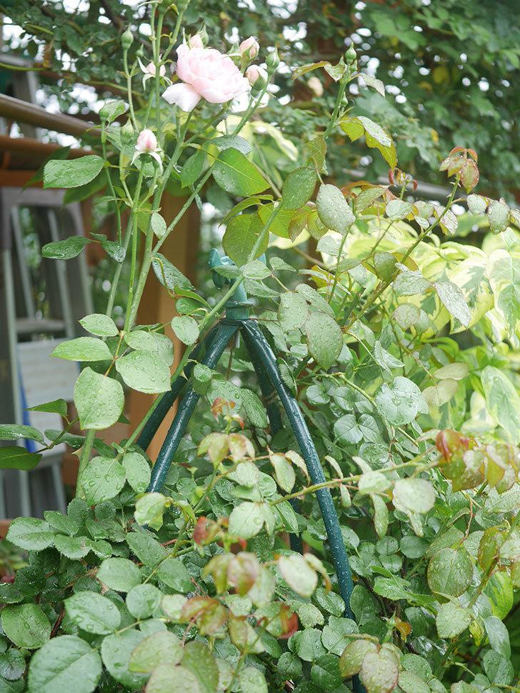 ジュビレ・アンペリアル(Jubile Imperial)の2番花が咲いた。半ツルバラ。2020年-008.jpg