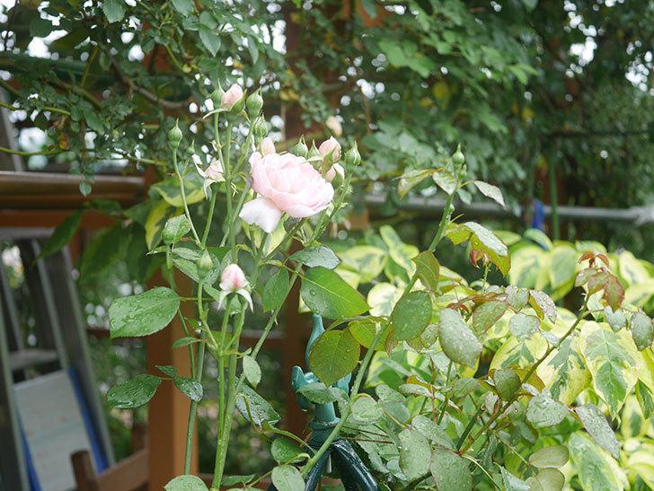 ジュビレ・アンペリアル(Jubile Imperial)の2番花が咲いた。半ツルバラ。2020年-009.jpg