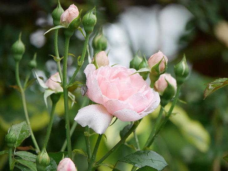 ジュビレ・アンペリアル(Jubile Imperial)の2番花が咲いた。半ツルバラ。2020年-010.jpg