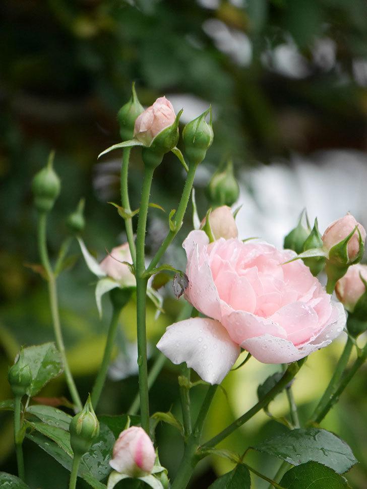 ジュビレ・アンペリアル(Jubile Imperial)の2番花が咲いた。半ツルバラ。2020年-012.jpg
