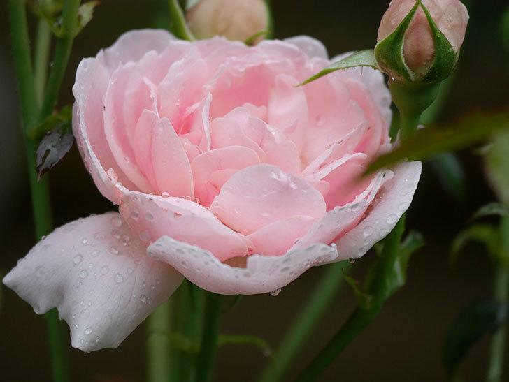ジュビレ・アンペリアル(Jubile Imperial)の2番花が咲いた。半ツルバラ。2020年-013.jpg