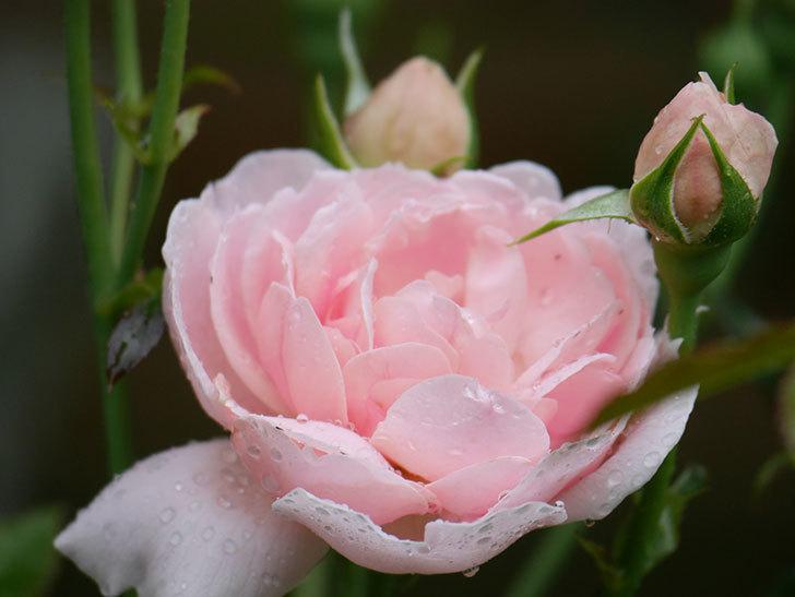 ジュビレ・アンペリアル(Jubile Imperial)の2番花が咲いた。半ツルバラ。2020年-014.jpg