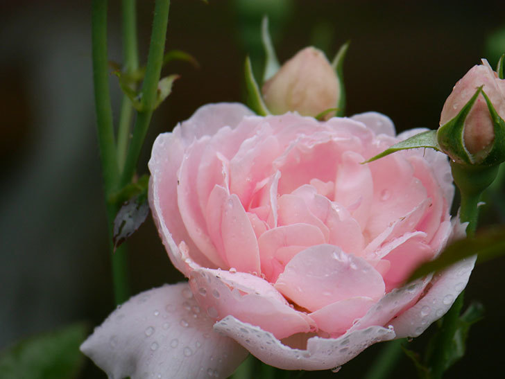 ジュビレ・アンペリアル(Jubile Imperial)の2番花が咲いた。半ツルバラ。2020年-015.jpg