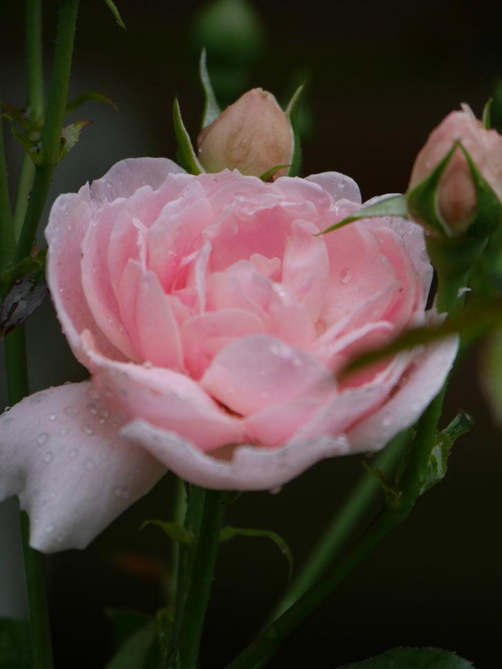 ジュビレ・アンペリアル(Jubile Imperial)の2番花が咲いた。半ツルバラ。2020年-016.jpg