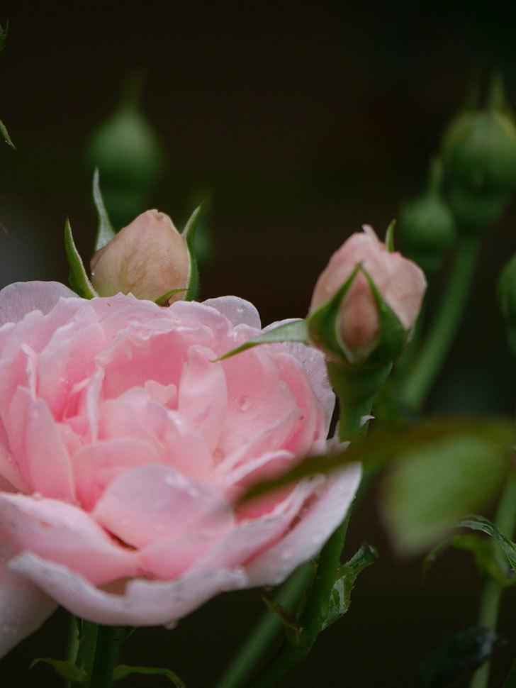 ジュビレ・アンペリアル(Jubile Imperial)の2番花が咲いた。半ツルバラ。2020年-017.jpg