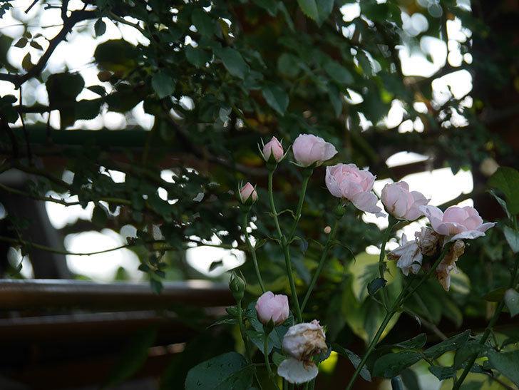 ジュビレ・アンペリアル(Jubile Imperial)の2番花が増えてきた。半ツルバラ。2020年-001.jpg
