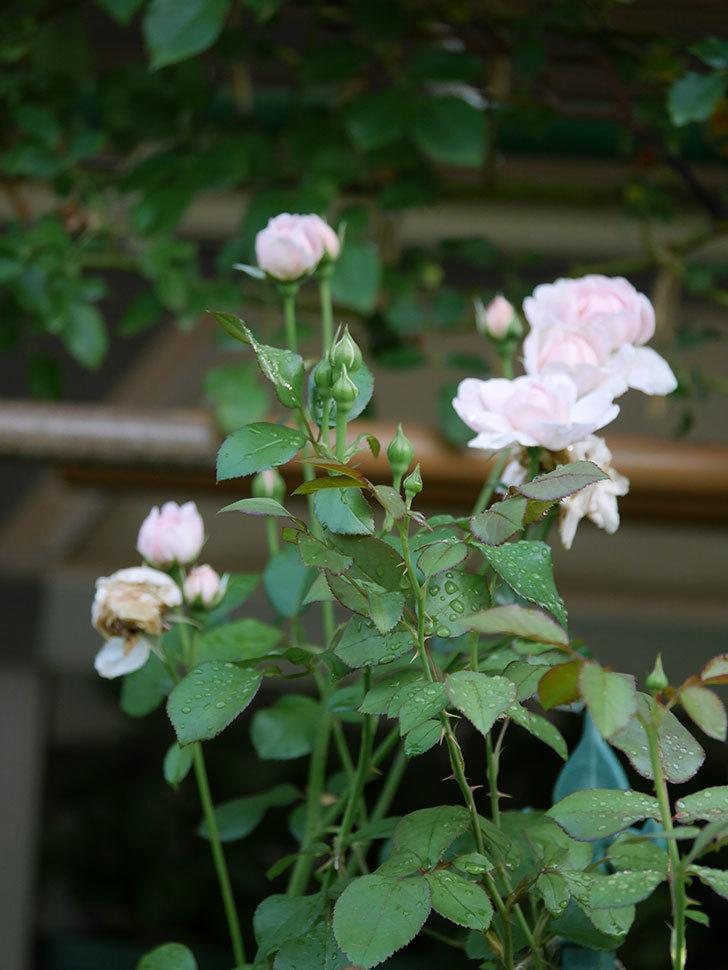 ジュビレ・アンペリアル(Jubile Imperial)の2番花が増えてきた。半ツルバラ。2020年-002.jpg