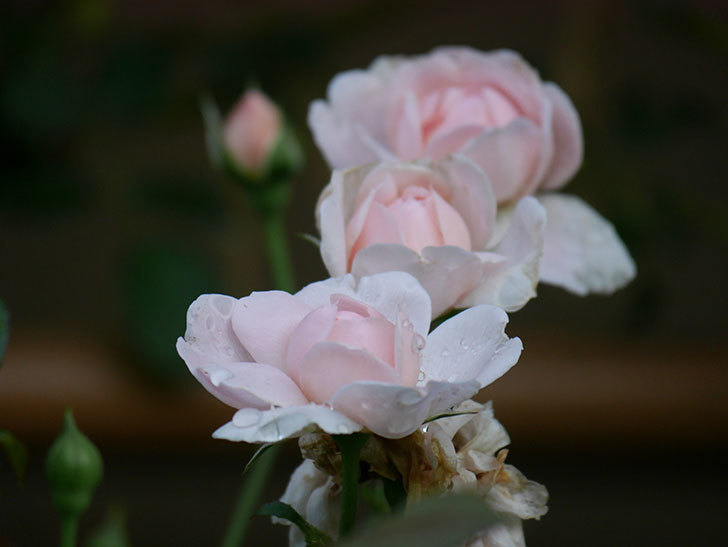 ジュビレ・アンペリアル(Jubile Imperial)の2番花が増えてきた。半ツルバラ。2020年-003.jpg