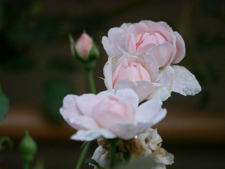 ジュビレ・アンペリアル(Jubile Imperial)の2番花が増えてきた。半ツルバラ。2020年-004.jpg