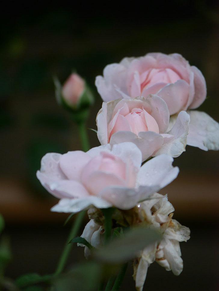 ジュビレ・アンペリアル(Jubile Imperial)の2番花が増えてきた。半ツルバラ。2020年-005.jpg
