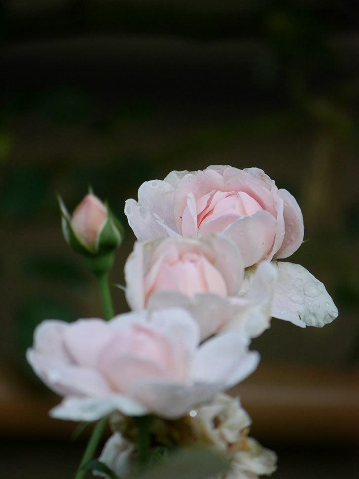 ジュビレ・アンペリアル(Jubile Imperial)の2番花が増えてきた。半ツルバラ。2020年-006.jpg
