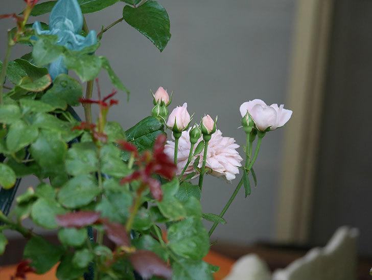 ジュビレ・アンペリアル(Jubile Imperial)の2番花が増えてきた。半ツルバラ。2020年-007.jpg