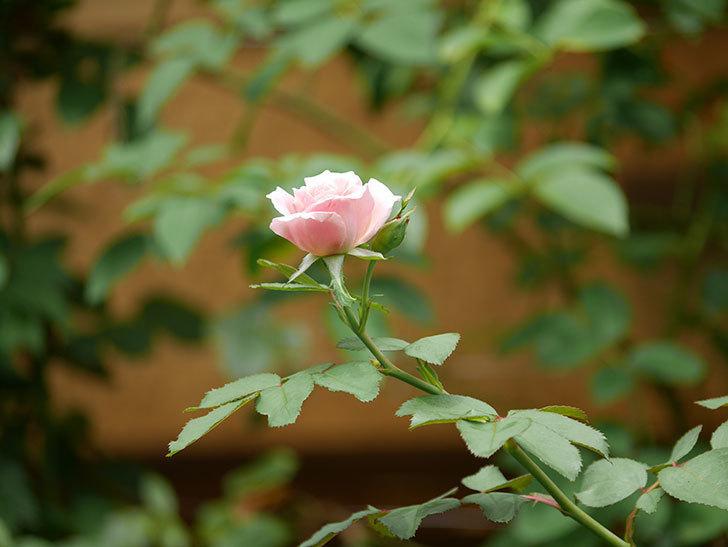 ジュビレ・アンペリアル(Jubile Imperial)の夏花がまた1個咲いた。半ツルバラ。2020年-003.jpg