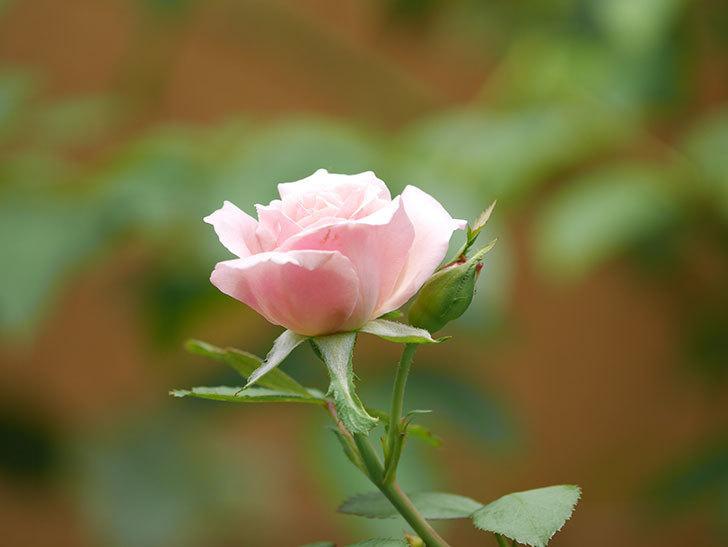 ジュビレ・アンペリアル(Jubile Imperial)の夏花がまた1個咲いた。半ツルバラ。2020年-004.jpg
