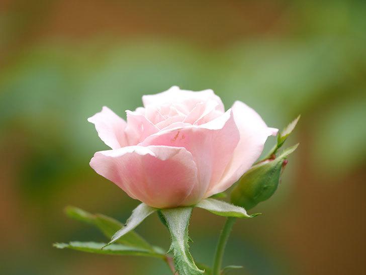 ジュビレ・アンペリアル(Jubile Imperial)の夏花がまた1個咲いた。半ツルバラ。2020年-005.jpg