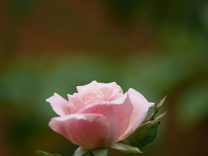 ジュビレ・アンペリアル(Jubile Imperial)の夏花がまた1個咲いた。半ツルバラ。2020年-006.jpg