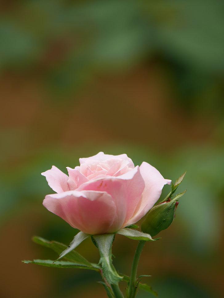 ジュビレ・アンペリアル(Jubile Imperial)の夏花がまた1個咲いた。半ツルバラ。2020年-009.jpg