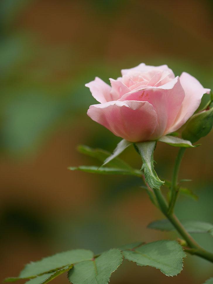 ジュビレ・アンペリアル(Jubile Imperial)の夏花がまた1個咲いた。半ツルバラ。2020年-011.jpg