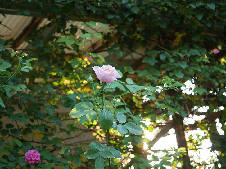 ジュビレ・アンペリアル(Jubile Imperial)の夏花がまた咲いた。半ツルバラ。2020年-001.jpg