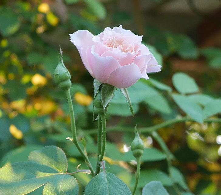 ジュビレ・アンペリアル(Jubile Imperial)の夏花がまた咲いた。半ツルバラ。2020年-002.jpg