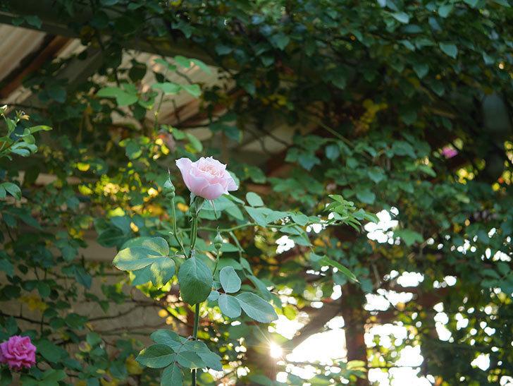 ジュビレ・アンペリアル(Jubile Imperial)の夏花がまた咲いた。半ツルバラ。2020年-003.jpg
