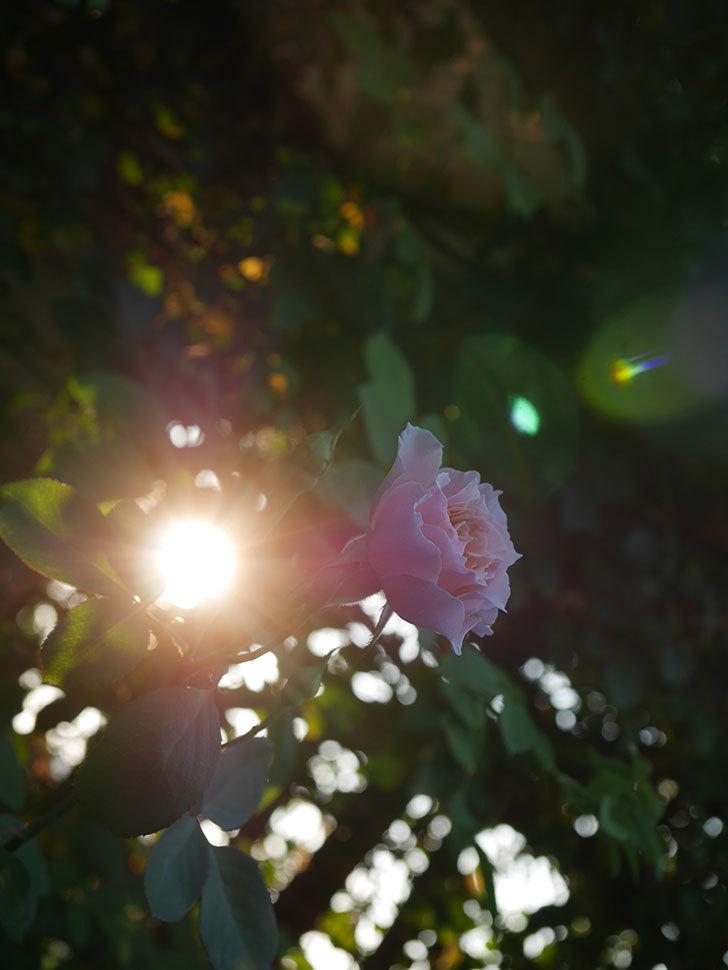 ジュビレ・アンペリアル(Jubile Imperial)の夏花がまた咲いた。半ツルバラ。2020年-005.jpg