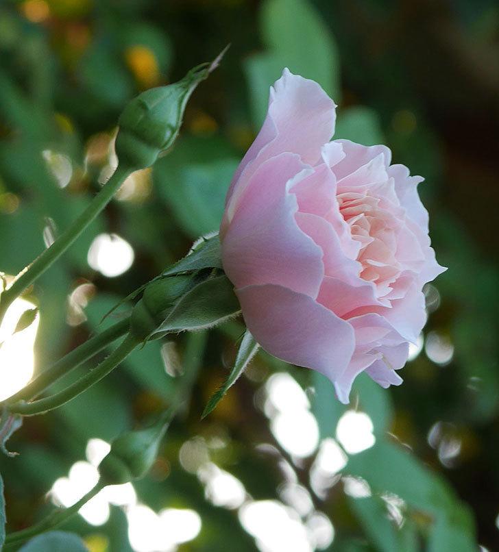 ジュビレ・アンペリアル(Jubile Imperial)の夏花がまた咲いた。半ツルバラ。2020年-007.jpg