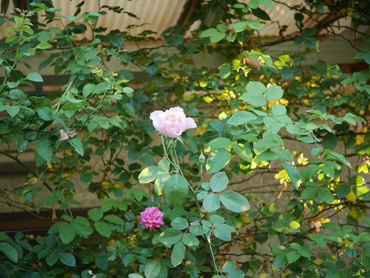 ジュビレ・アンペリアル(Jubile Imperial)の夏花がまた咲いた。半ツルバラ。2020年-008.jpg