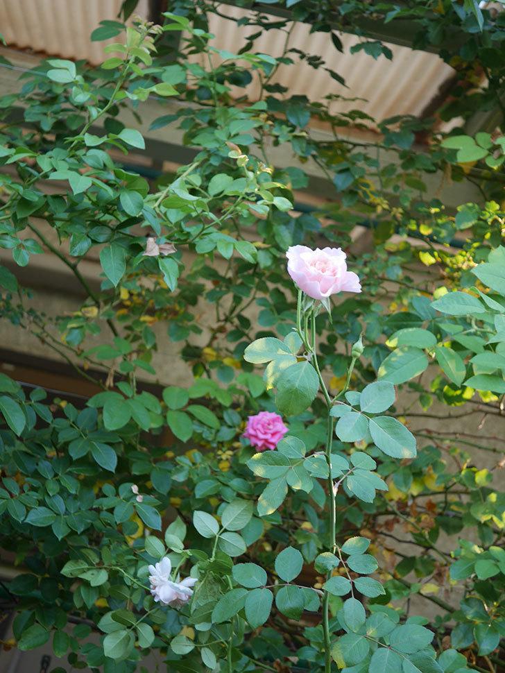 ジュビレ・アンペリアル(Jubile Imperial)の夏花がまた咲いた。半ツルバラ。2020年-009.jpg