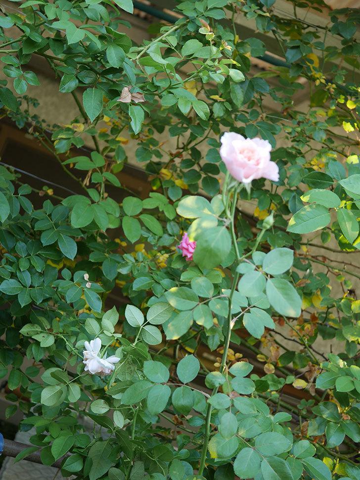 ジュビレ・アンペリアル(Jubile Imperial)の夏花がまた咲いた。半ツルバラ。2020年-010.jpg