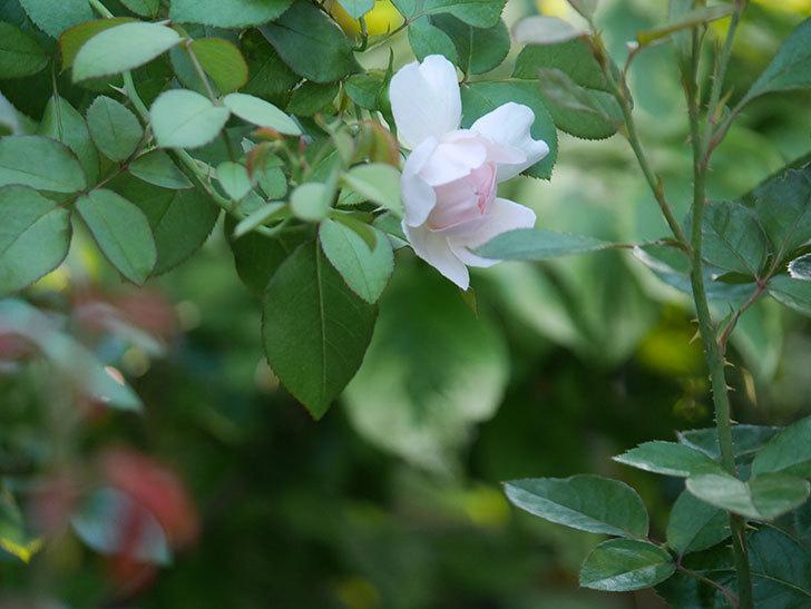 ジュビレ・アンペリアル(Jubile Imperial)の夏花が咲いた。半ツルバラ。2020年-001.jpg